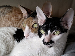 koty cornish rex